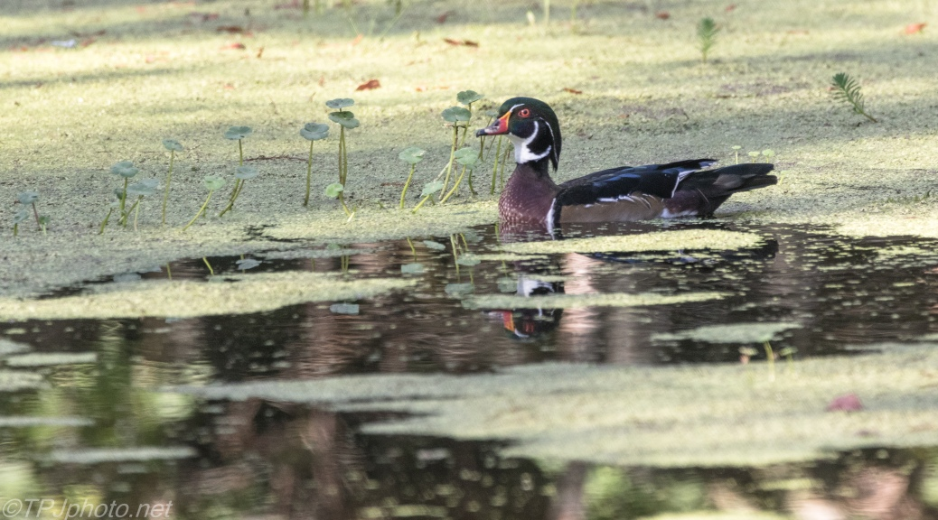 Male Wood Duck - Click To Enlarge