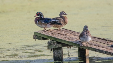 Wood Ducks Just Hanging Around - Click To Enlarge