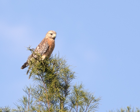 Red Shouldered In A Pine - Click To Enlarge