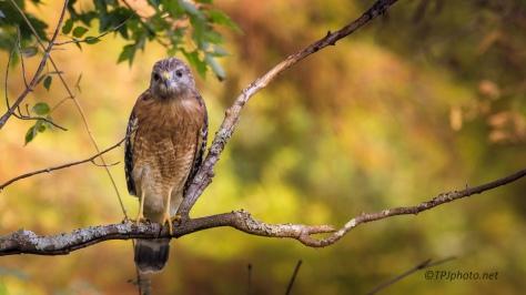 Red Shouldered Hawk - Click To Enlarge