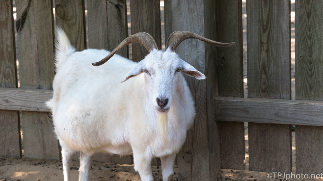 Billy Goat Gruff - click to enlarge