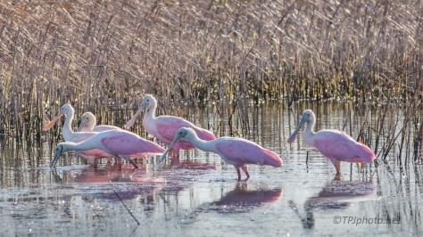 Walking The Marsh, Spoonbills - click to enlarge
