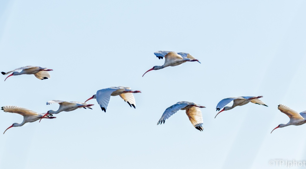 Ibis Fly By - Click To Enlarge