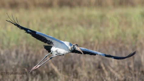 Catching Some Green, Wood Storks - click to enlarge