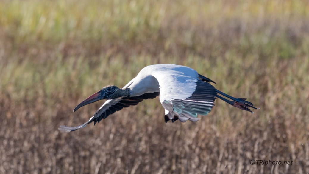 Big Guy Moving By, Wood Stork - click to enlarge