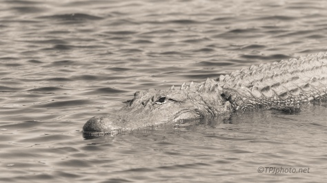 Yeah, That's Just A Log, Alligator - Click To Enlarge