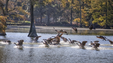 Splash Down, Canada Geese - click to enlarge
