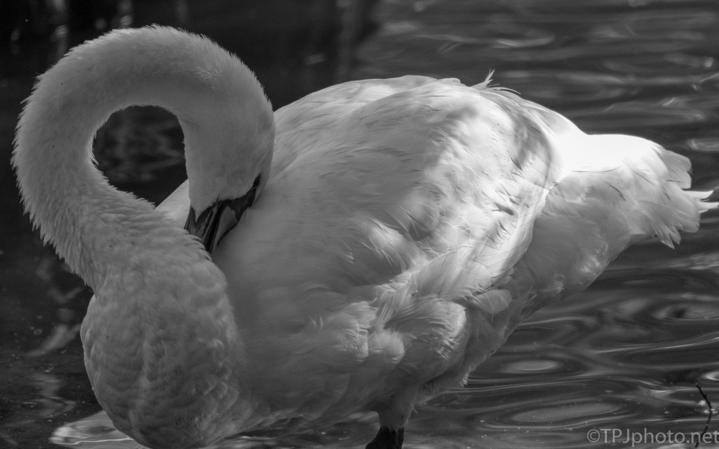 Swan In Black And White - Click To Enlarge