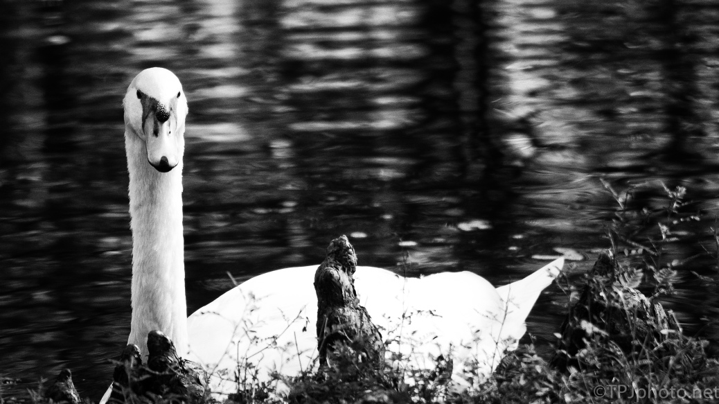 Swan, Black And White - click to enlarge