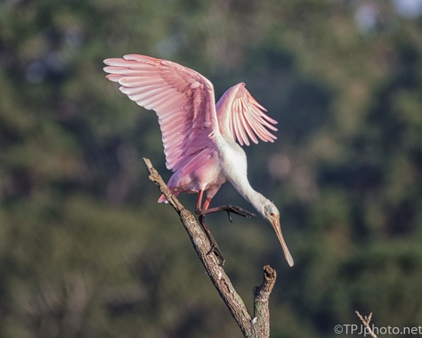 Roseate Spoonbill Balancing Act - click to enlarge