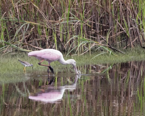 Spoonbill, And A Buddy, Wandering - click to enlarge