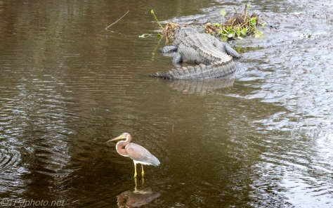Tricolored Heron, Tempting Fate - click to enlarge