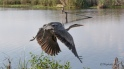 Completely Surprised Me, Great Blue Heron - click to enlarge