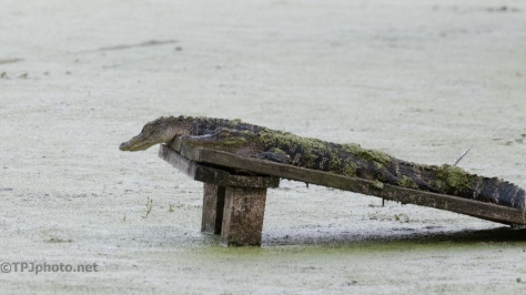 Just Enough Room, Alligators-click to enlarge