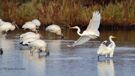Great Egrets And Wood Storks - click to enlarge