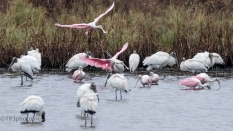 Landing In The Middle, Spoonbills - click to enlarge