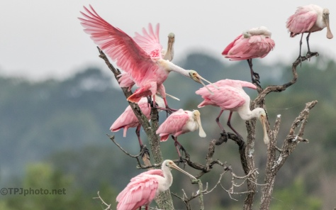 Pink Tree, Spoonbills - click to enlarge