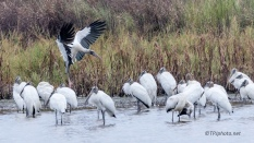 Joining The Flock, Wood Stork - click to enlarge