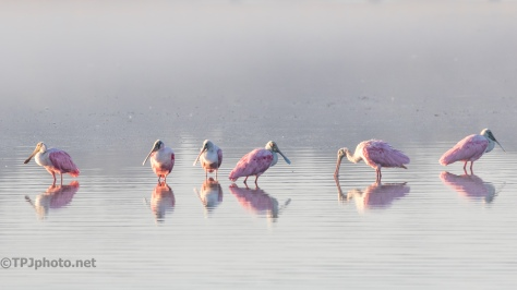 Row Of Spoonbills - click to enlarge