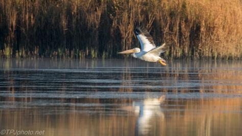 White Pelican Fly By - click to enlarge