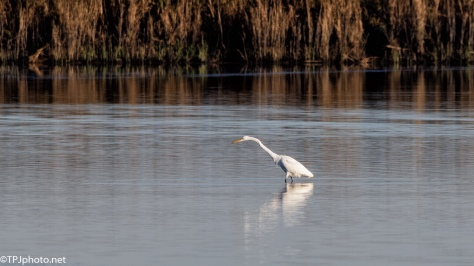 Solitary Great White Egret - click to enlarge