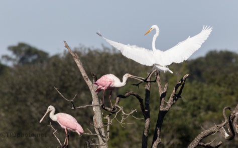 Intruder, Spoonbill And Great Egret - click to enlarge