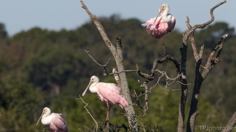 Marsh Tree, Spoonbills - click to enlarge