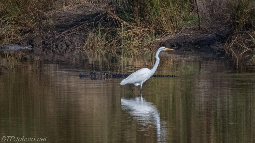 Egret, Alligators, A Truce - click to enlarge