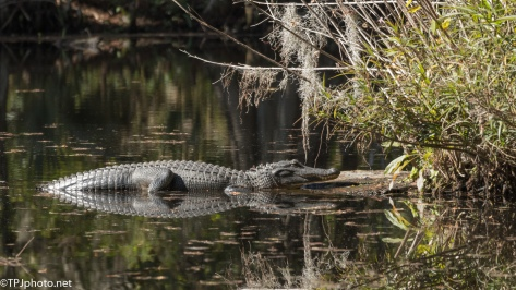 Sunny Spot, Alligator - click to enlarge
