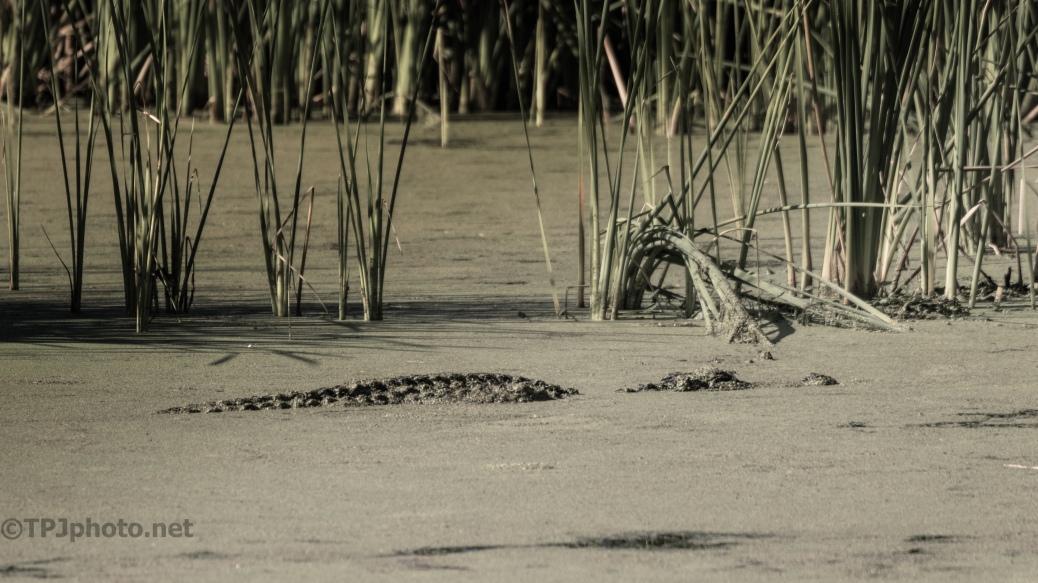 Blending In, Alligator - click to enlarge