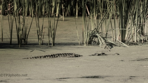 They Certainly Can Blend In, Alligator - click to enlarge