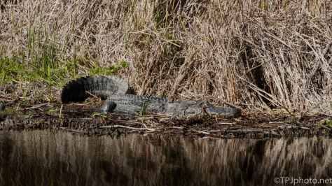 Morning Alligators - click to enlarge