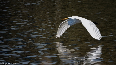 Great Egret, Low Flight - click to enlarge