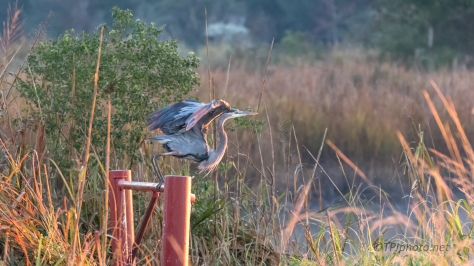 Great Blue In The Morning Sun - click to enlarge