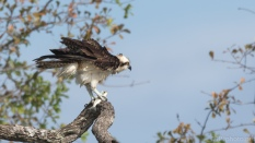 Osprey, Fish Catch - click to enlarge