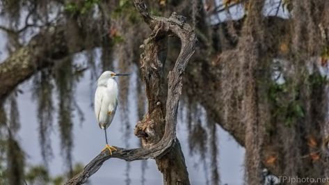 Snowy Egret In The Spanish Moss - click to enlarge