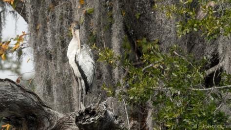 Wood Stork, Portrait - click to enlarge