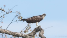 Osprey With His Catch - click to enlarge