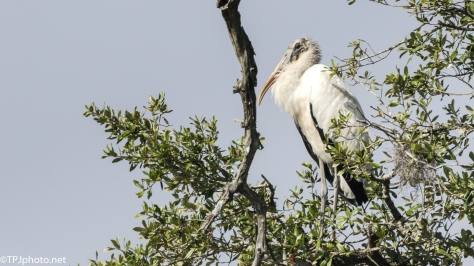 Wood Stork, A Little Old Man- click to enlarge