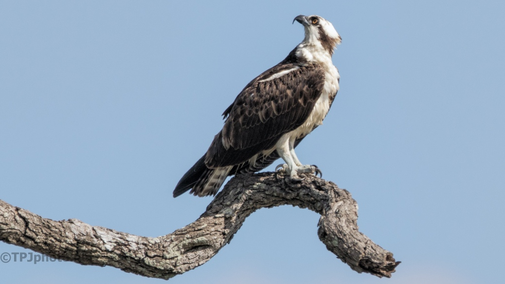Osprey - click to enlarge