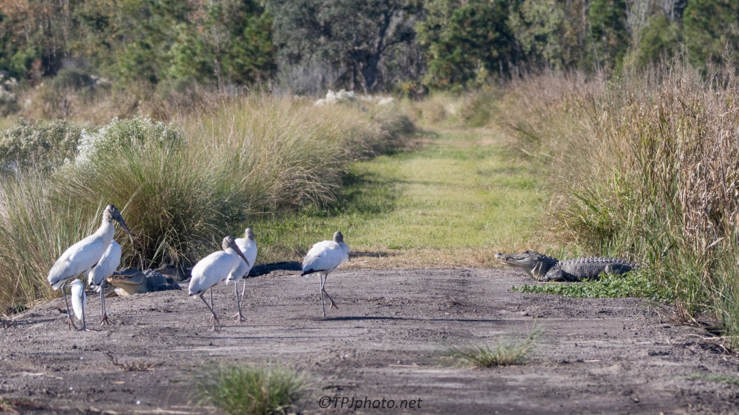 Alligator, Wood Storks, A Trail - click to enlarge