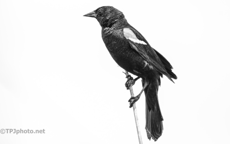 Black Bird, Black And White - click to enlarge