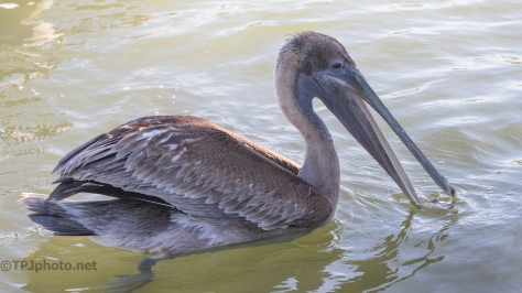 Pelican Portraits - click to enlarge