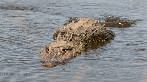 On The Move, Alligator - click to enlarge