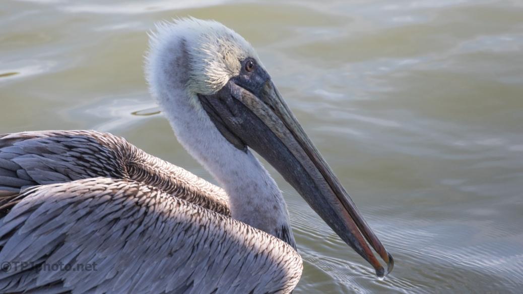 Pelican Portraits - click to enlarge
