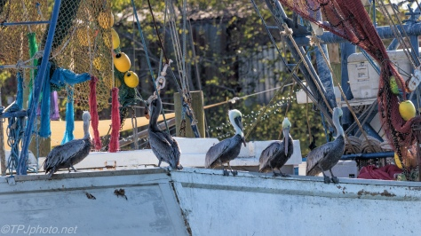 A Hostile Takeover, Pelicans - click to enlarge