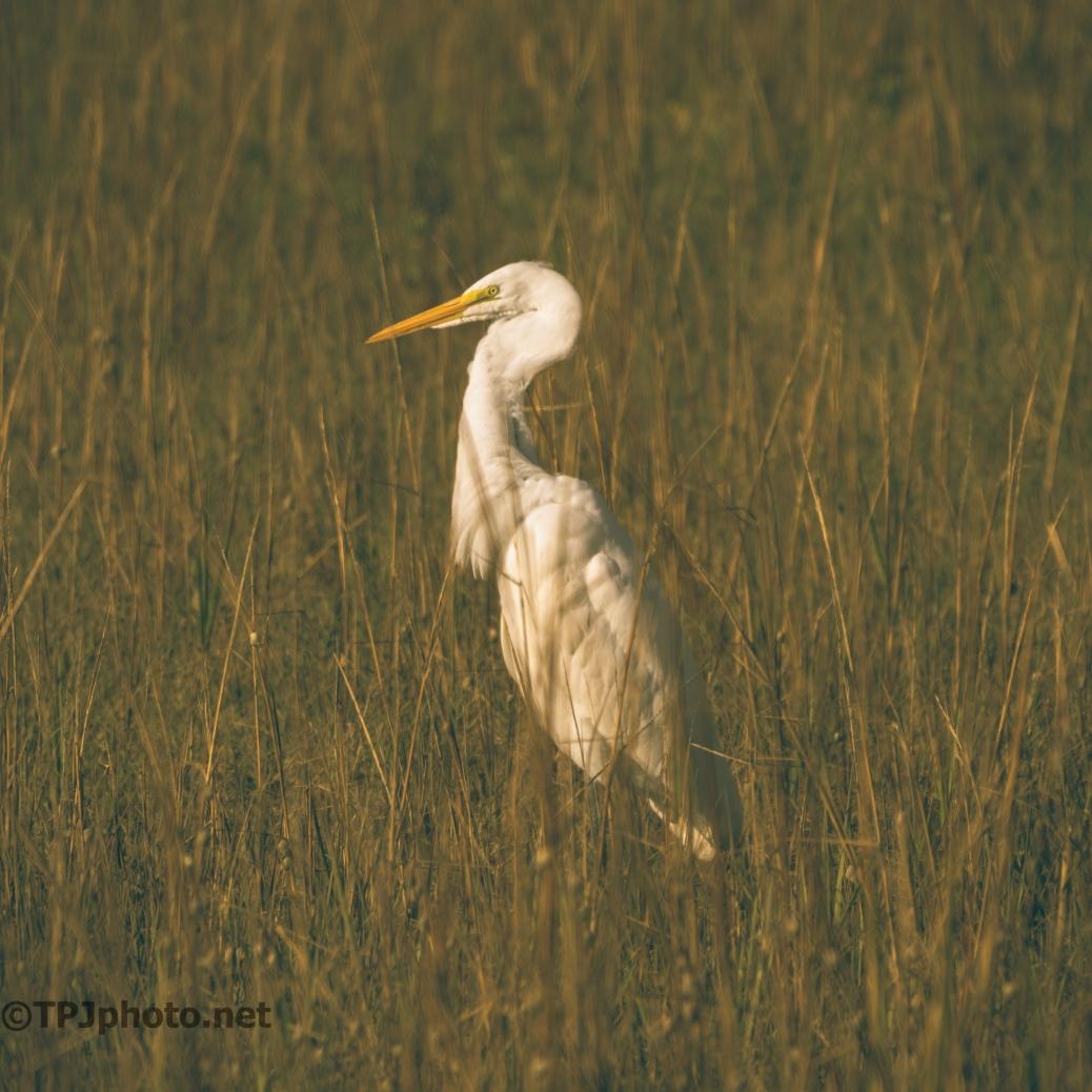 Evening Marsh Egret - click to enlarge