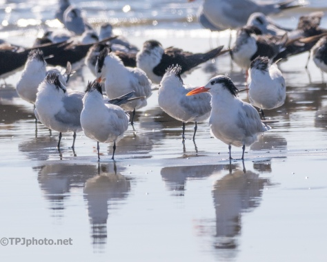 Royal Tern - click to enlarge