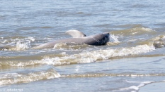Strand Feeding Dolphins 1 - click to enlarge