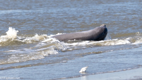Strand Feeding, Dolphins (2) - click to enlarge